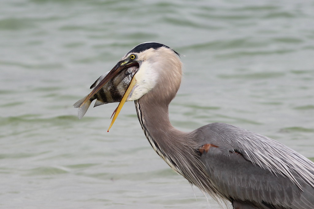 Great blue heron attempting to eat a big sheepshead fish i for Sheepshead fish eating
