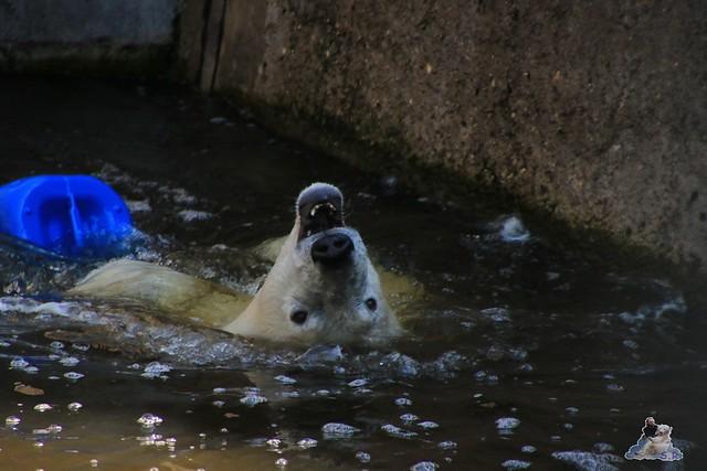 Eisbär Fiete im Zoo Rostock 04.06.2016   012