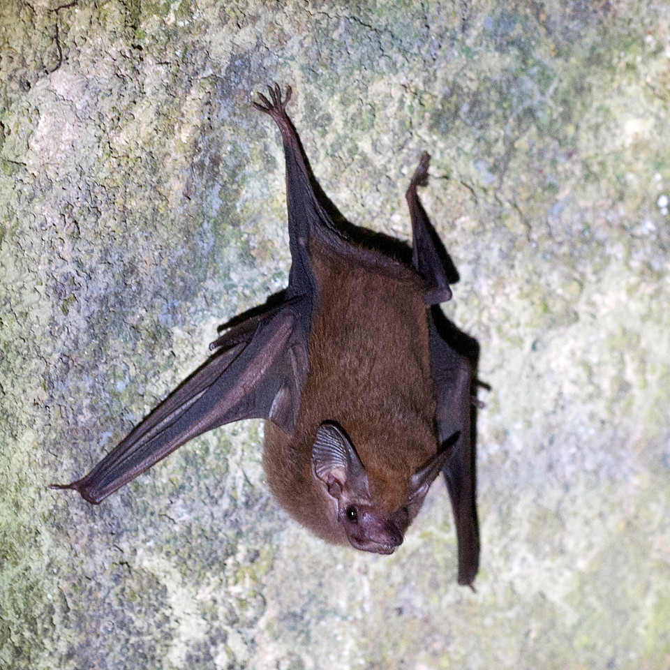 Lesser Dog-like Bat | Lesser Dog-like Bat - Peropteryx macro ...: https://www.flickr.com/photos/yeliseev/8841827959