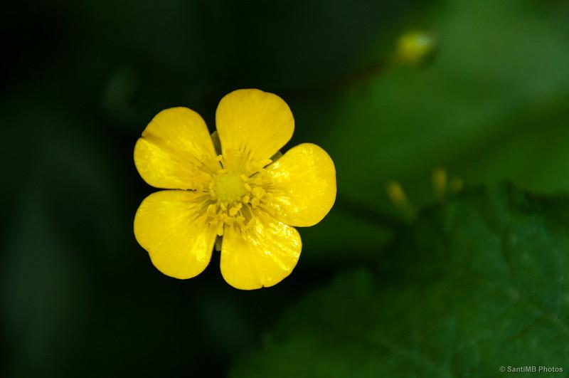 Flor de botón de oro