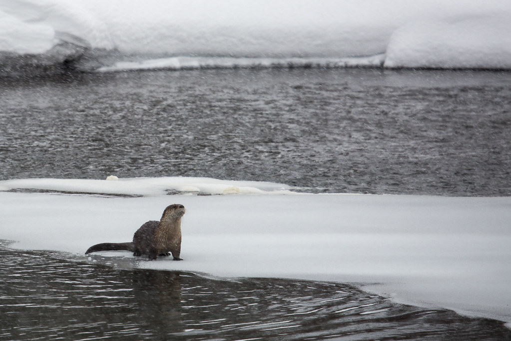 River otter on obsidian creek river otter at the for Www gardner com