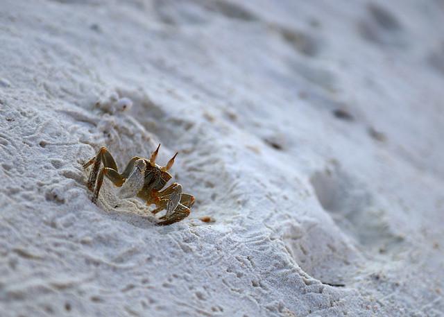 Cangrejos caminando por las orillas de la playa en Maldivas