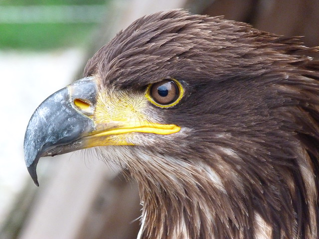 Águila en el castillo de Bouillon (Valonia, Bélgica)