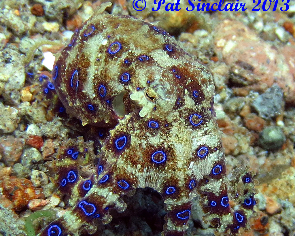 Greater blue ringed octopus 1c edited | Pat Sinclair | Flickr