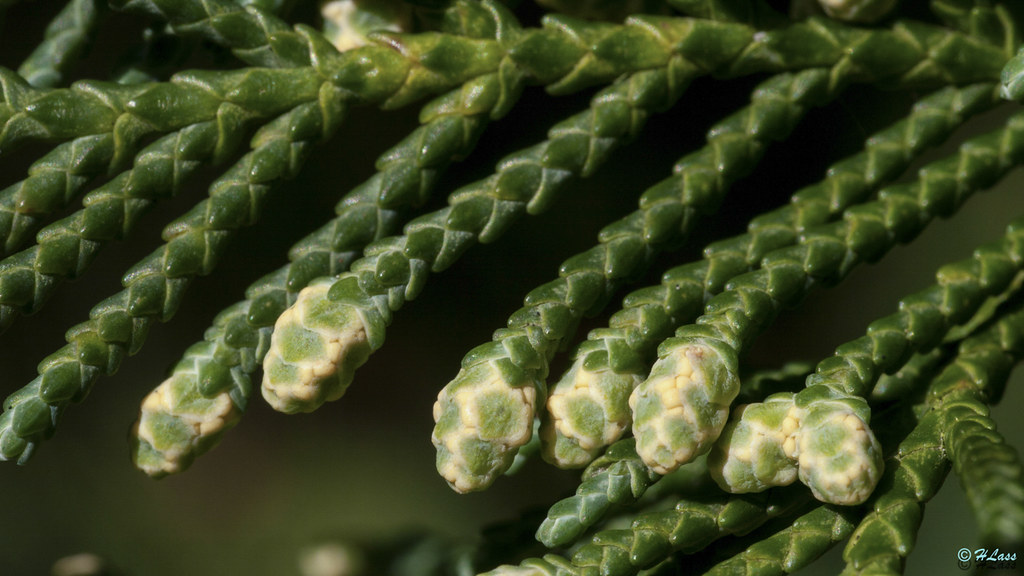 cupressocyparis leylandii leyland zypresse botanischer g flickr. Black Bedroom Furniture Sets. Home Design Ideas