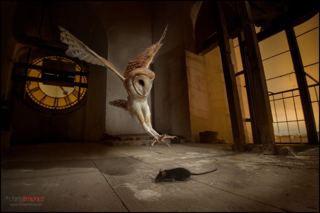 Barn Owl (Tyto alba) hunting at church bell tower | Barn ...