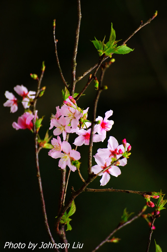 抓住櫻花的尾巴-陽明山花季