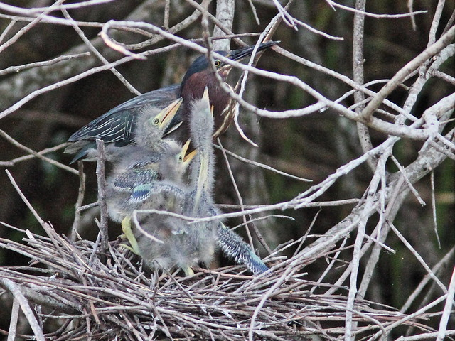 Green Heron 2nd adult feeds nestlings 2-20160527
