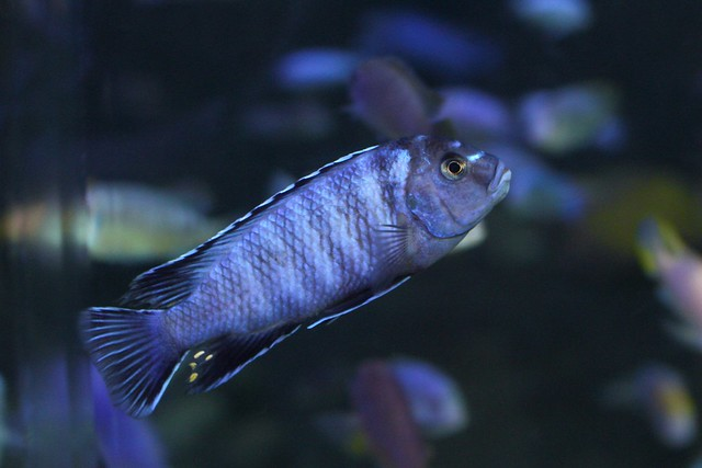 Mbuna Cichlid From Lake Malawi Pictures