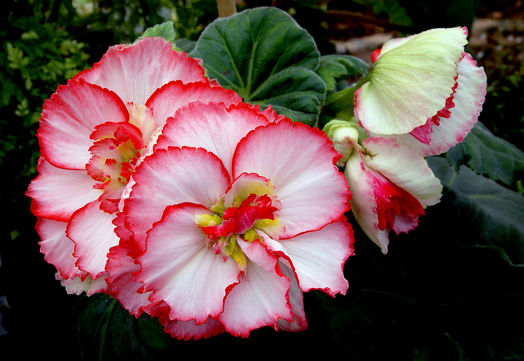 Begonias Begonias Are A Large And Diverse Family Of Plants Flickr