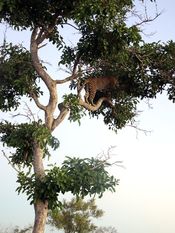 Lion Sands Safari Day 3- Leopard in a Tree