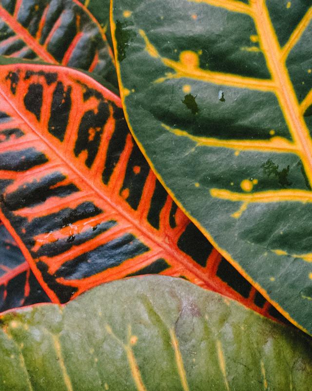 Codiaeum /croton plant leaves