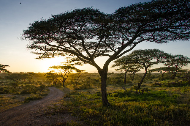 Acacia Tree  at sunset in Tanzania Africa