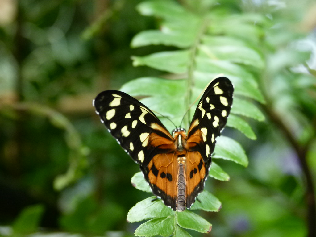 tiger longwing niagara falls butterfly conservatory. Black Bedroom Furniture Sets. Home Design Ideas