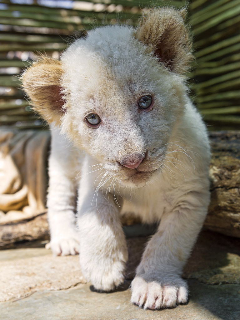 Shy white lion cub coming to me | The brother of the white ...