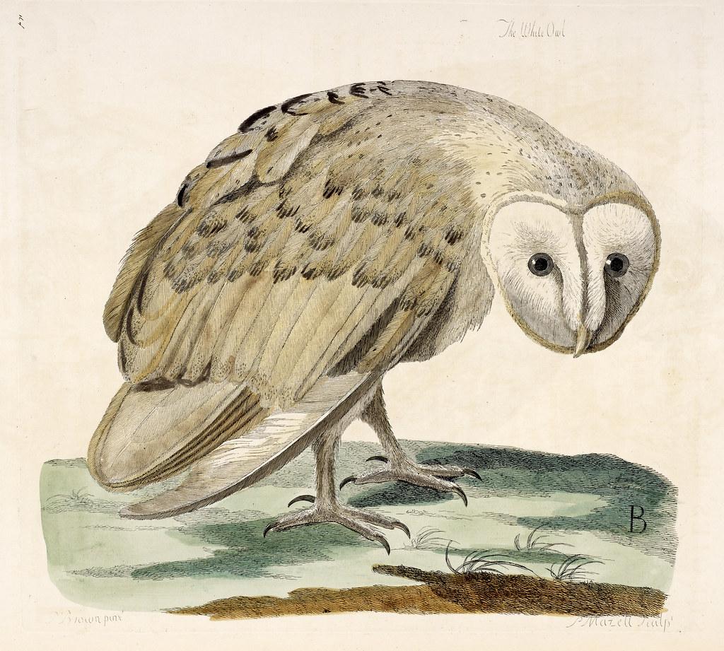 The British Zoology. - caption: 'The White Owl'