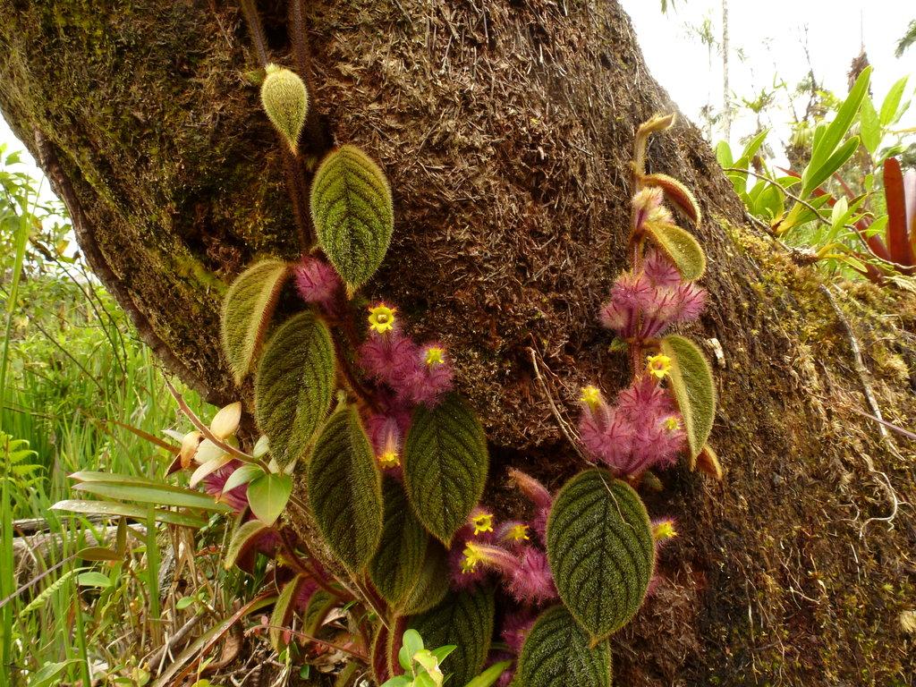 Columnea minor, Gesneriaceae | Andreas Kay | Flickr