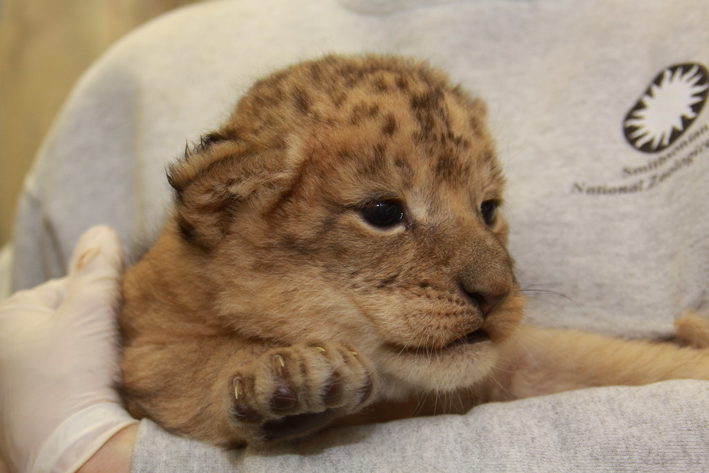 Lion cubs weighed at the national zoo photo karen abbott