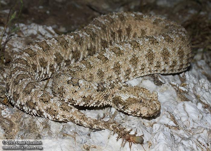 О виде Pseudocerastes (Ophidia: Viperidae)