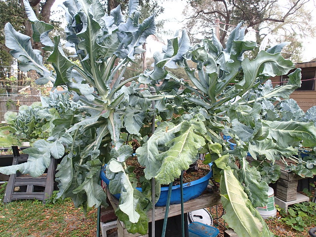 Hydroponic Italian Broccoli Square Foot Hydroponic