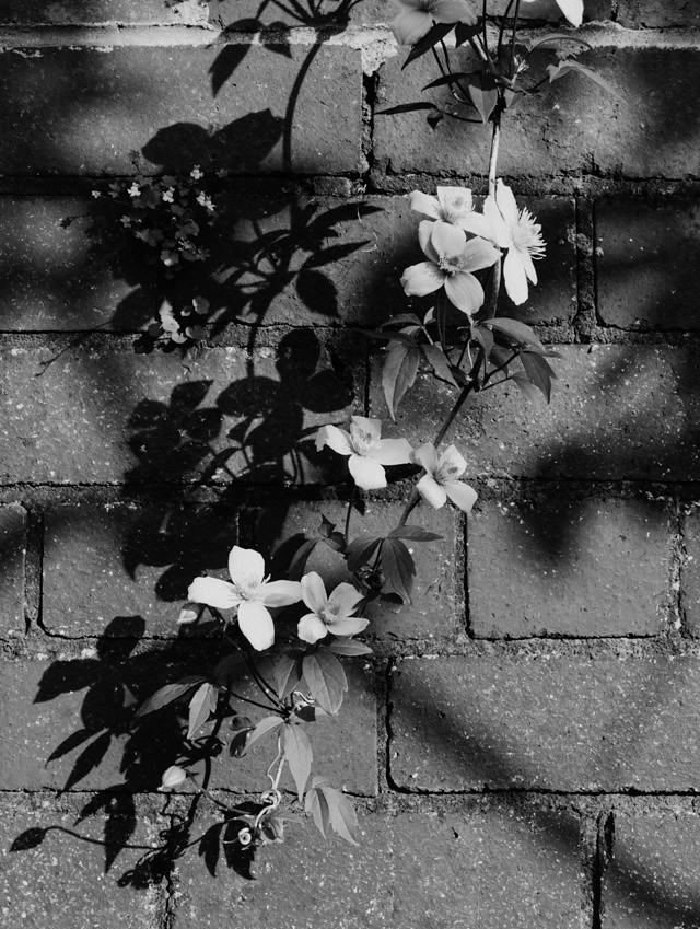 shadows of clematis