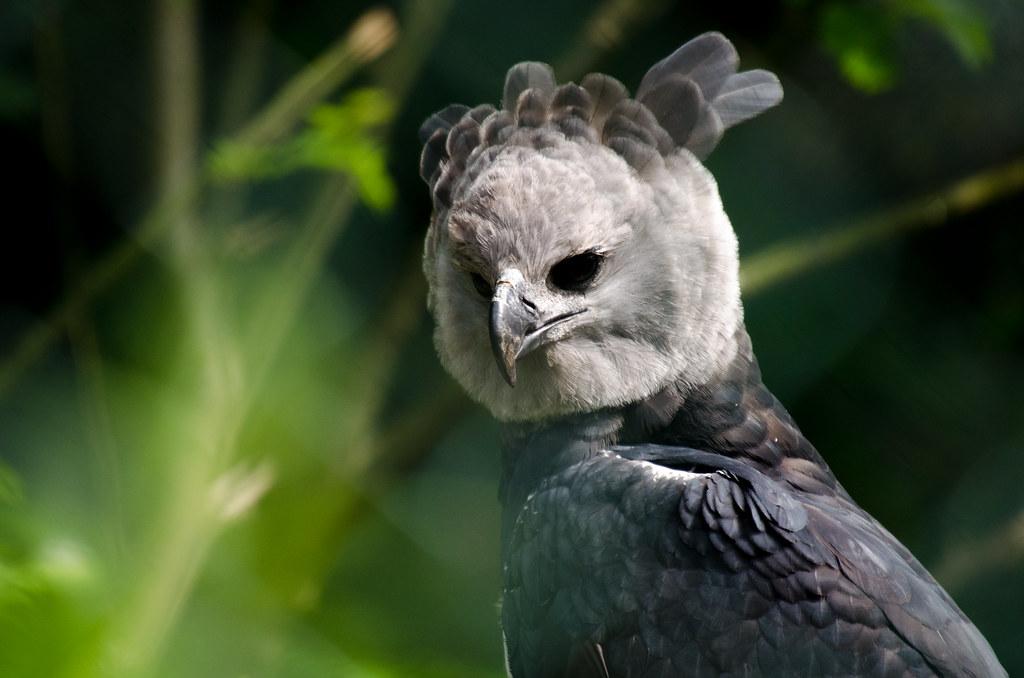 Portrait of a harpyie harpia harpyja harpy eagle the - Harpy eagle hd wallpaper ...