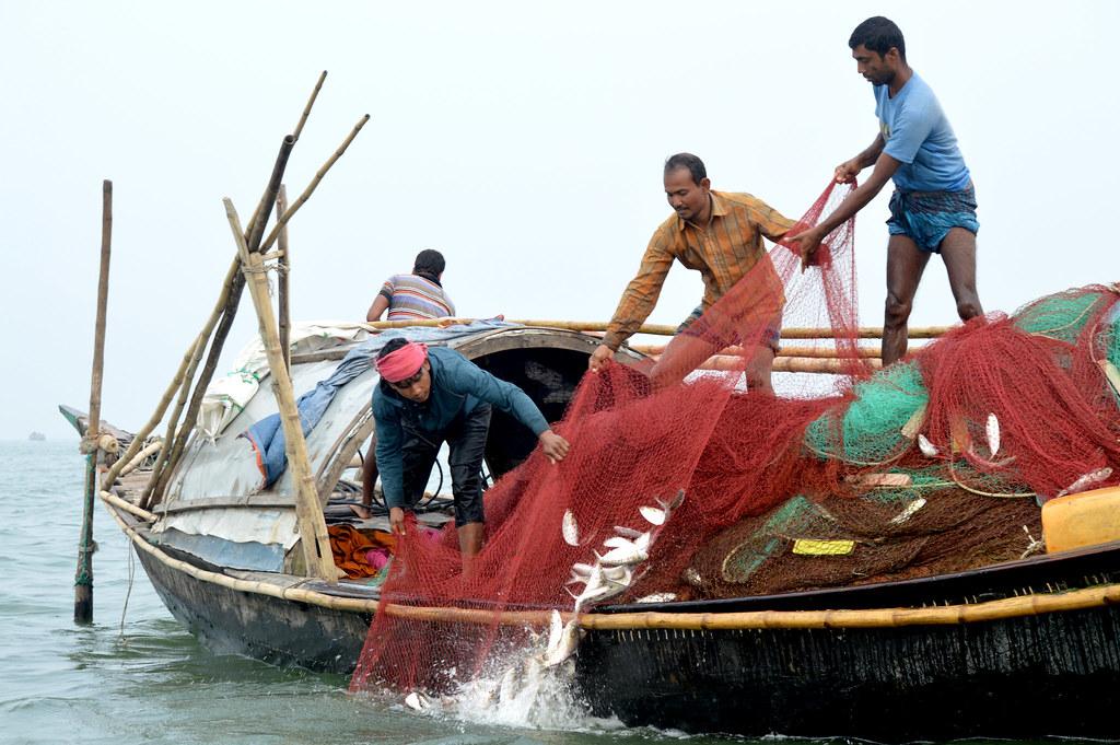 Image result for hilsa fish
