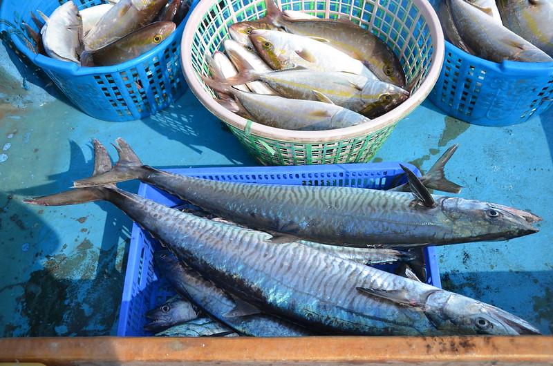 定置網捕到的魚鮮度高、價格高,但成本也高。攝影:潘佳修。