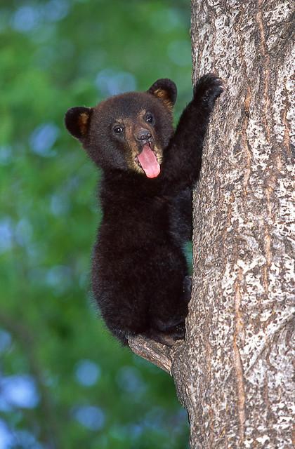 Cute Baby Black Bear. | Flickr - Photo Sharing! - photo#11