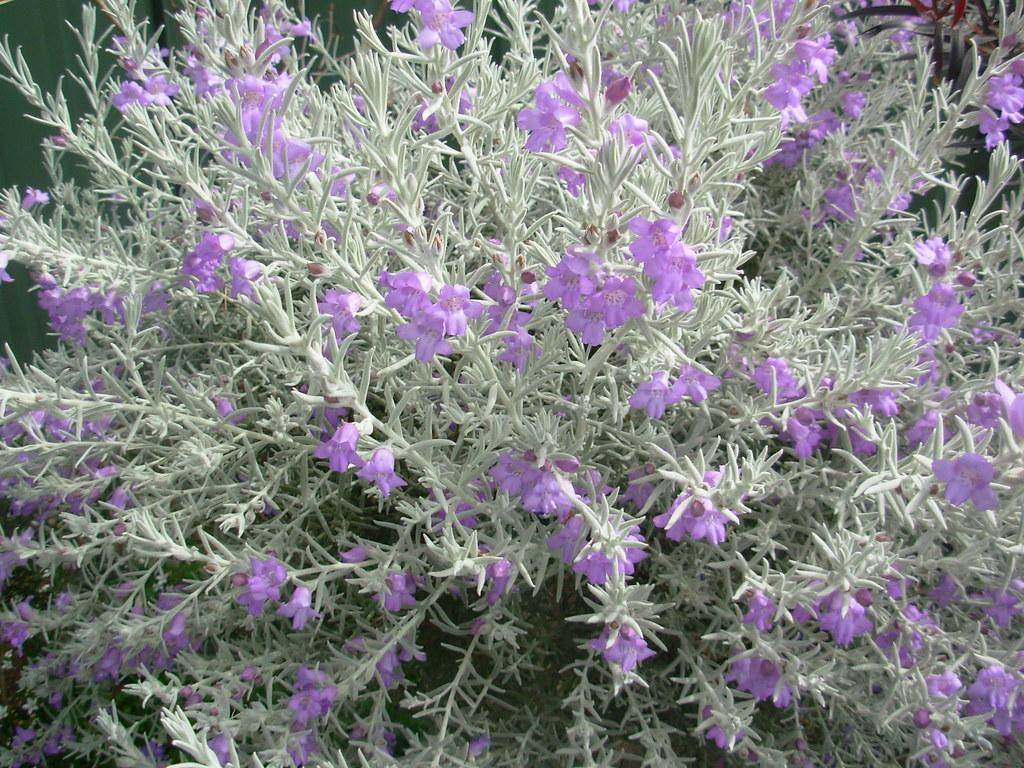 My garden silky eremophila eremophila nivea muttley for Arbustos de jardin nombres