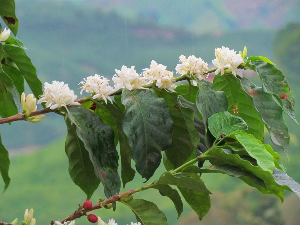 la flor del caf manizales caldas colombia ana mar a morales flickr. Black Bedroom Furniture Sets. Home Design Ideas