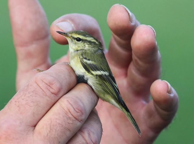 Yellow Ringed Warbler