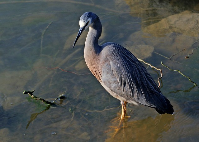 White faced heron.(Ardea novaehollandiae)