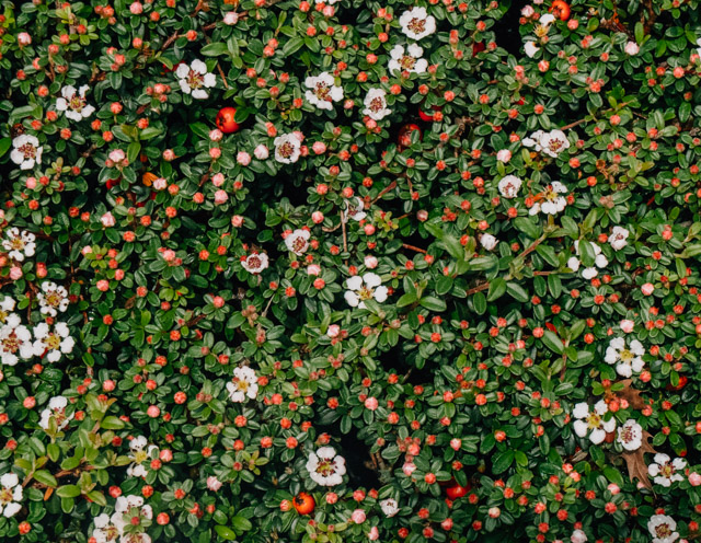 cotoneaster bush with flowers