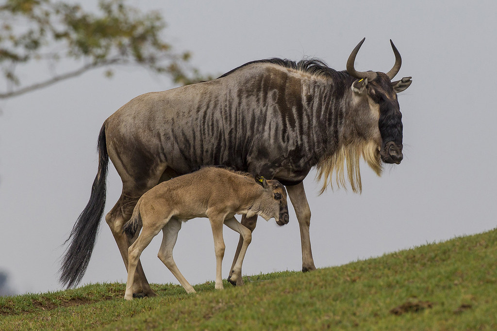Gnu Baby A White Bearded Gnu Calf Or Wildebeest Was