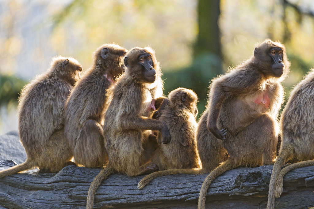 Backlit group of Gelada baboons | I like this backlit ...