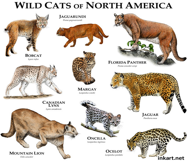 Wildcats Of North America Flickr Photo Sharing
