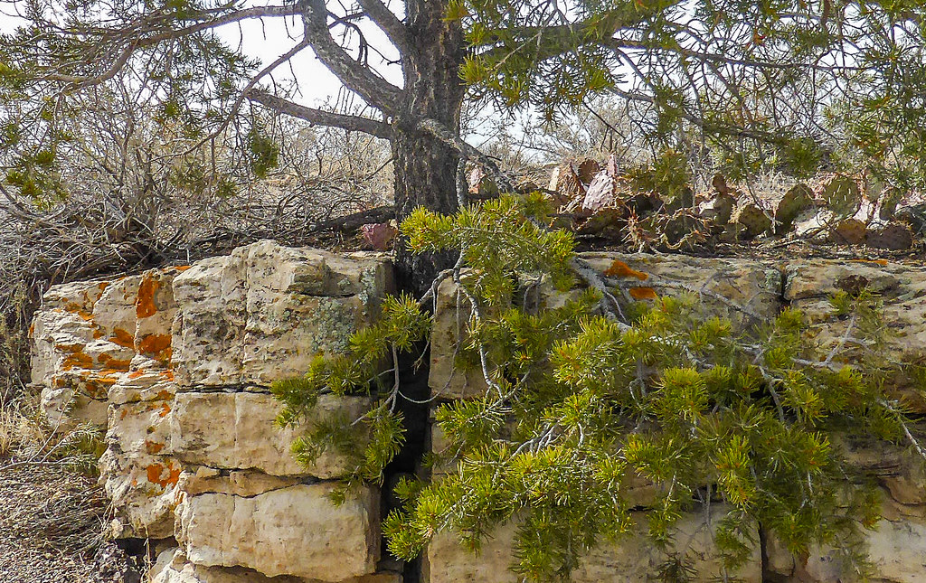 El Morro National Monument New Mexico A Tree That Has