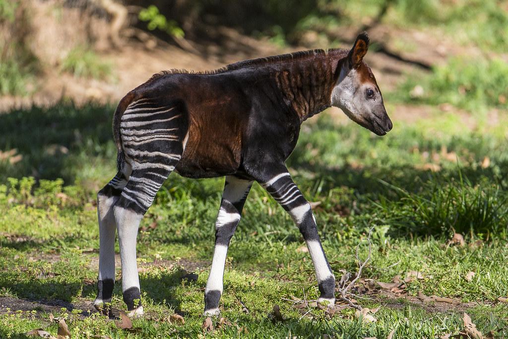 Curious Baby Okapi Explores Habitat For First Time At San