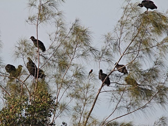 Red-winged Blackbird with vultures 20140224