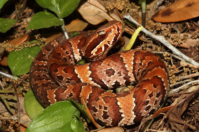 Baby Cottonmouth Flickr Photo Sharing