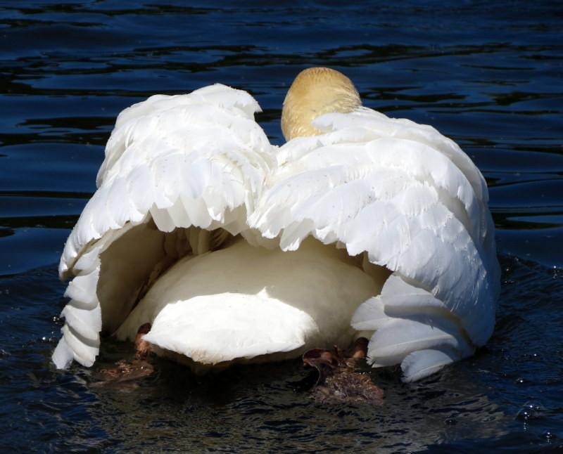 Kellogg Bird Sanctuary Photography Swan Kellogg's Bird Sanctuary