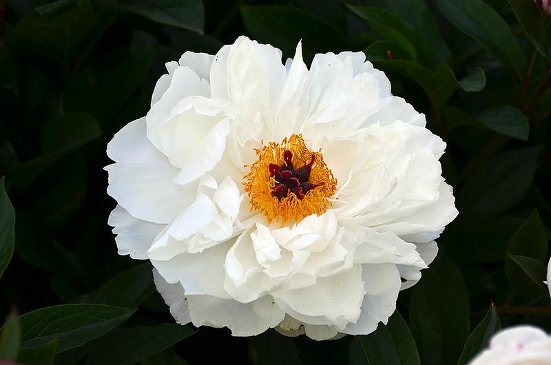 adelman-peony-garden-11-minnie-shaylor