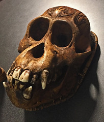 Orangutan skull from Operation Pongo
