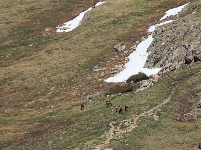 Elk and snow field 20160615