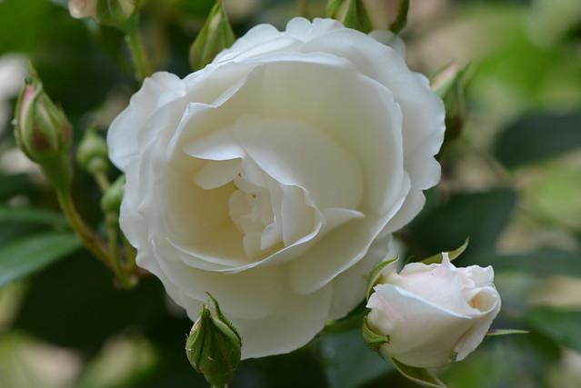 Une Rose Blanche Et Sa Voisine Qui Doit S 39 Ouvrir Flickr Photo Sharing