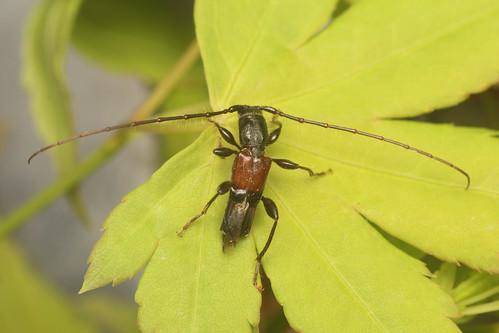 Tsujius itoi (male)