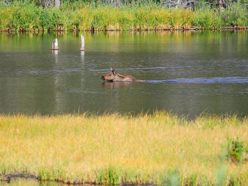 IMG_1968 Moose Calf Swimming