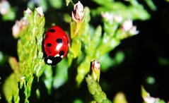 first ladybird by Liz Nicholson