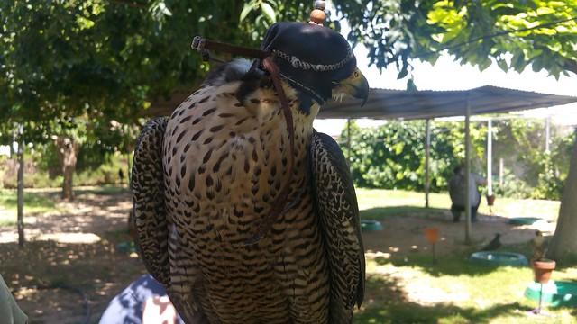 AionSur 27477153481_721acef0ea_z_d Una mañana con los halconeros de la Base Aérea de Morón Medio Ambiente